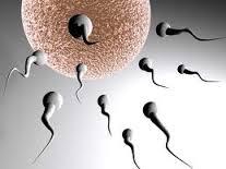 spermatazoidas